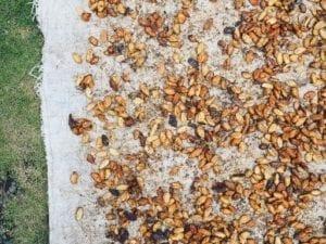 カカオ豆の天日干し。天気任せな完全ナチュラル。
