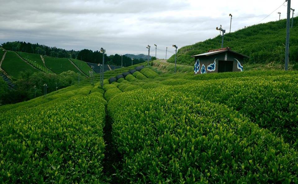 無農薬朝宮茶の通販サイト