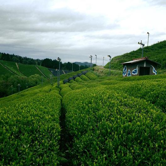 オーガニックな信楽産の在来種のお茶