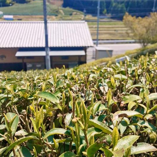 茶楽園の無農薬日本茶の通販サイト
